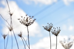 Plants standing tall (aaron-and-alicia) Tags: sky blue clouds plants silhouette macro angle weeds dandelions dead flowers plant