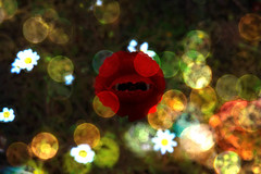 Happy Veterans Day (soniaadammurray - Off) Tags: digitalphotography manipulated experimental collaboration collage abstract massimobardelli veteransday appreciation tribute thankyou flowers bokeh