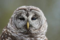 Barred Owl (Find The Apex) Tags: louisiana louisianarenaissancefestival barredowl