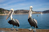 California Brown Pelican (jcldigitalstudio.com) Tags: pelecanus occidentalis dof soft animal pair hungry waiting ocean water pier tame
