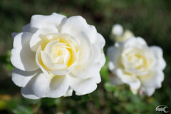 Mini Rose (Fippo Gomes) Tags: canon canonefm28mmf35isstmmacro eosm flor flowers flower plant planta white branco