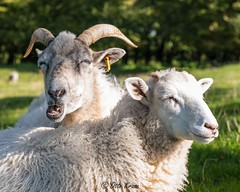 Lindholm Hoje, Denmark, Sheep Couple (OttoKruse) Tags: europe denmark lindholmhoje sheep grass green trees horns white aalborg beauty danishculture famousplace viking
