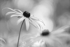 Rudbeckia (Patrice StG) Tags: sony a6000 nikkors55mmf12 55mmf12s fleur flower bokeh gimp nb bw noiretblanc blackandwhite quebec