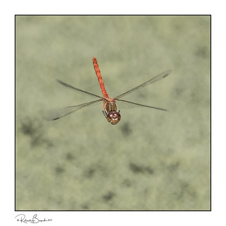 Common Darter (Sympetrum striolatum) dragonfly in flight 4
