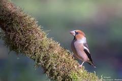 Grosbec casse-noyaux (gilbert.calatayud) Tags: coccothraustescoccothraustes fringillidés grosbeccassenoyaux hawfinch passériformes bird oiseau laddo mazères ariège