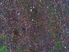 Neural Networks (Matt Champlin) Tags: tgif friday life weekend hunting farm farming seasonal harvest pumpkins gourds nature aerial dronephotography drone drones dji iamdji djiphantom4 phantom4 cny elbridge 2017 colorful crop crops landscape perspective fields neural ai neuralnetworks