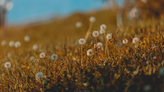 Dandelion (Nicola Pezzoli) Tags: colors fall season autumn italy bergamo val gandino seriana autunno nature leffe flower sunset light bokeh dandelion