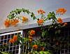 Orange Bougainvillea (phasan) Tags: orange bougainvillea pratyay hasan p