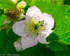 Thick legged Flower beetle (Oedemera nobilis) (rogerk's Images) Tags: thick legged flower beetle oedemera nobilis