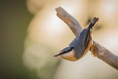 Nuthatch (Nathan J Hammonds) Tags: nuthatch bird wildlife kent uk nikon d750 sigma x14converter winter nature bokeh