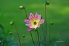 Dahlia . (PACHA23) Tags: nature couleur plante flor flower dahlia
