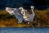 Midair dance in à contre-jour (bodro) Tags: bolsachica bird birdinflight birdphotography birdsfighting dancers droplets ecologicalreserve egret fight midair shallows snowy splash wetlands