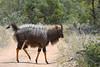 Nyala, Timbavati (Mike/Claire) Tags: nyala 2016 southafrica tandatula timbavati