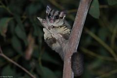 Sugar Glider (Petaurus breviceps) (Heleioporus) Tags: sugar glider petaurus breviceps south sydney new wales