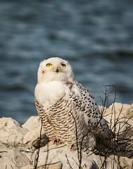 Oh look!  An Eagle . . . (Dr. Farnsworth) Tags: bird owl snowyowl stare baldeagle eyes yellow muskegon mi michigan fall december2017