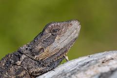 Eastern Bearded Dragon (The Gullet) Tags: aldinga south australia bearded dragon lizard nikon d500 300mm closeup eastern adelaide sunshine sunning fierce