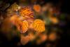 golden leafs (Thilo Sengupta) Tags: herbst autumn leafs foliage blätter gelb yellow orange natur nature golden nice nicepic picoftheday bokeh dof