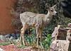 Urban Mule Deer -- Female (Odocoileus hemionus); Palmer Lake, Colorado [Lou Feltz] (deserttoad) Tags: mammal nationalforest animal gameanimal muledeer behavior colorado forest