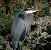 Heron (ambrknr) Tags: delta ponds water waterfowl fowl bird wildlife nature pacific northwest eugene oregon western willamette valley great blue heron crane
