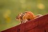 Yes, Another Chipmunk (Nicholas Erwin) Tags: chipmunk squirrel animal wildlife nature naturephotography warm depthoffield dof outdoor waterbury vermont vt unitedstatesofamerica usa america nikon d610 nikkor 70200f4vr outside blur fav10 fav25 fav50