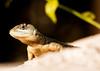 . (Ivan Costa) Tags: animal lagarto lizard nature natureza eye olho