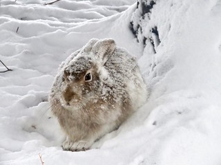 Prairie Hare in the snow