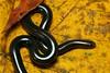 Anilios nigrescens (nicgambold) Tags: snake blind