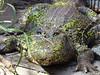 Alligator en tenue de camouflage :-) (jean-daniel david) Tags: alligator animal reptile camouflage vert gris crocodile closeup