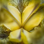 The crests of a yellow iris flower - Iris species - Barton - ACT - Australia - 20171023 @ 17:05 thumbnail