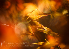 Reaching Out (Sylvia Slavin ARPS (woodelf)) Tags: autumn fall colours red acers trees leaves bokeh sony backlighting backlit
