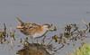 Baillon's crake (Porzana pusilla)-7432 (rawshorty) Tags: rawshorty birds canberra australia act jerrabomberrawetlands
