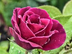Rosa1157 (juantiagues) Tags: flor rosa color juantiagues juanmejuto