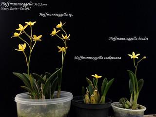 Hoffmannseggella sp., Hoff. esalqueana and Hoff.  bradei