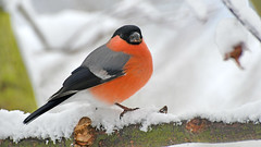 Gimpel im Schnee (karinrogmann) Tags: gimpel dompfaff männchen bullfinch male ciuffolotto mascio