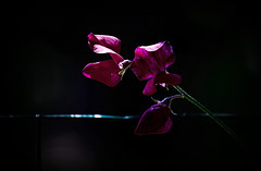 Sweetpea ..... (Missy Jussy) Tags: flower sweetpea blossom petals summer annual plant sunlight light fence barbwire stem canon canon5dmarkll