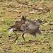 _W4A9545 Common Moorhen (Gallinula chloropus)