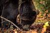 Brown Bear (RGaenssler) Tags: laurasiatheria europa bären allensbach wildparkbodanrück braunbär tiere floraundfauna ursinae badenwürttemberg raubtiere ursus wirbeltiere deutschland säugetiere hundeartige höheresäugetiere bodensee brownbear canoidea carnivora eutheria mammalia oursbrun ursidae ursusarctos freudenstadt de