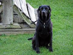 Dog at Stokesay Castle -- photo 1 (Dunnock_D) Tags: uk unitedkingdom britain england shropshire stokesay castle lawn green grass dog lead leash sitting weimrador weimarador