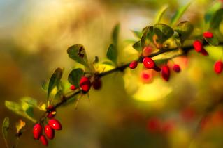 Berberries in autumn colors