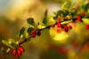 Berberries in autumn colors (* mariozysk *) Tags: oczy k burberries berberys red bokeh smc takumar 50mm