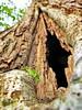 Grasshopper Cathedral (Mattijsje) Tags: grasshopper cathedral church tree boom ijk oak dead wood grot cave hole gat pulp stronk green brown