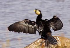 Little shag drying (Maureen Pierre) Tags: newzealand bird wild wings littleshag traviswetland drying watching perching native
