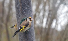 5959 Goldfinch on a Niger feeder. (Andy - Tak'n a breever) Tags: aaa avian bbb bird cardueliscarduelis ccc fff ggg goldfinch goldfinchcardueliscarduelis nigerseedfeeder nnn plasgwernoer sss