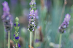 Delicate fragrance (Hanna Tor) Tags: garden color light lavender grass nature bokeh summer autumnn sweet romantic delicate hannator petals
