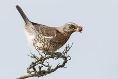 Fieldfare & The last Berry Nov 2017 Part Two (jgsnow) Tags: bird thrush fieldfare berry