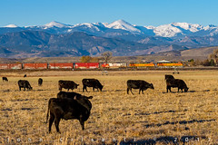Cows and a Train (Colorado & Southern) Tags: bnsfrailway gec449w trains train railfanning railroad railfan railway railroads rockymountains railroading rail rr railroadtrack manifest manifesttrain colorado coloradorailroads coloradotrains