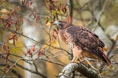 _V2A3029 copy 2 (Confusion_Circle) Tags: hawk red salmon tailed
