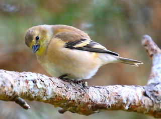 American goldfinch at Lake Meyer Park IA 854A6220