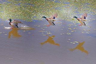 Mallard landing, male (sequence)