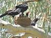 Corcorax melanorhamphos 14 (barryaceae) Tags: australian national botanic gardens canberra bird birds aves australianbirds ausbirds ausbird whitewinged chough corcorax melanorhamphos